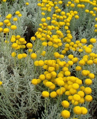 Santolina chamaecyparissus – Hamvas cipruska