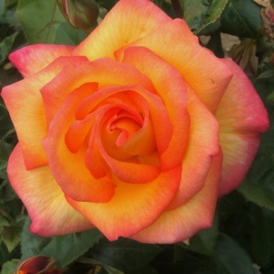 Sheila's perfume magastörzsű rózsa