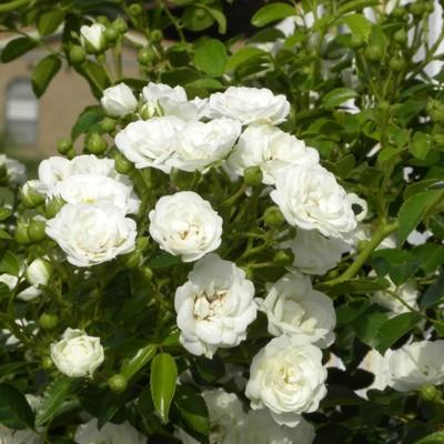 Snow White magastörzsű rózsa