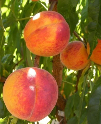 Sunbeam őszibarackfa