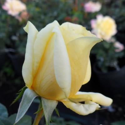 Sunblest magastörzsű rózsa