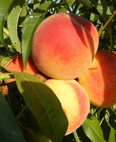 Húsvéti rozmaring almafa