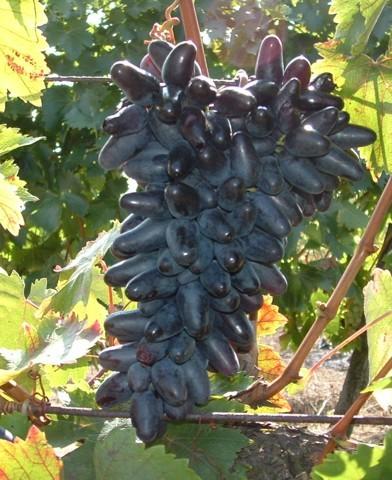 Suvenir csemegeszőlő oltvány