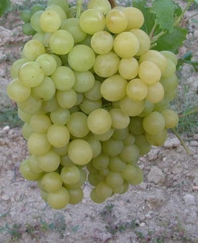 Szőlőskertek királynője muskotály csemegeszőlő oltvány