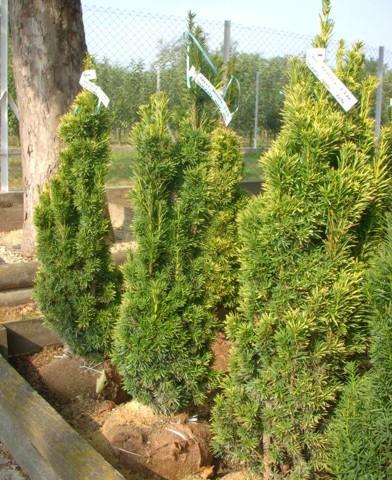 Taxus baccata 'Fastigiata Aurea' - Oszlopos arany tiszafa
