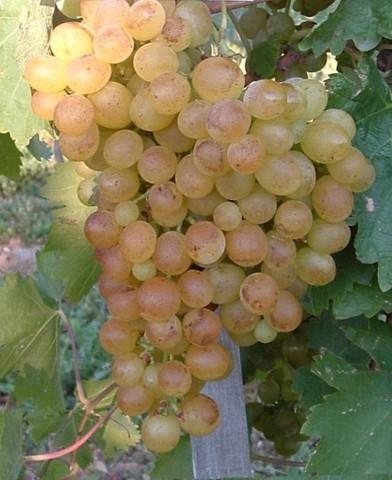 Téli muskotály csemegeszőlő oltvány