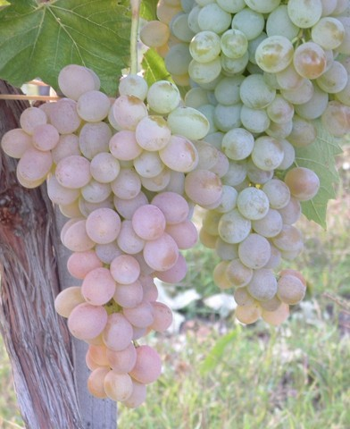 Teréz rezisztens szőlő oltvány