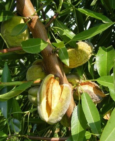Tétényi bőtermő mandulafa