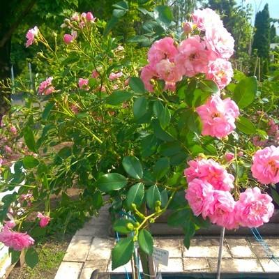 The Fairy magastörzsű rózsa