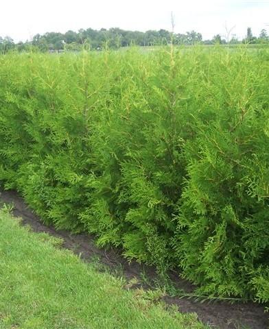 Thuja occidentalis 'Brabant' - Zöld nyugati tuja