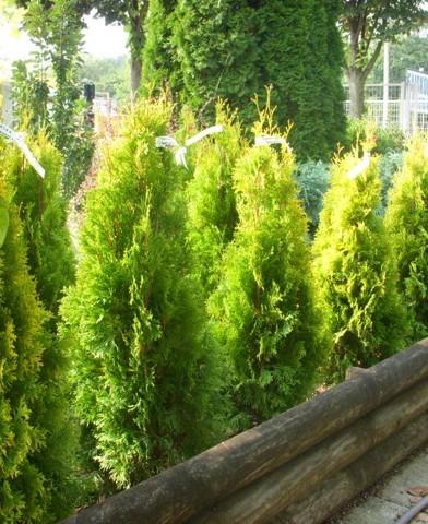 Thuja occidentalis 'Malonyana Aurea' - Oszlopos sárga malonyai tuja