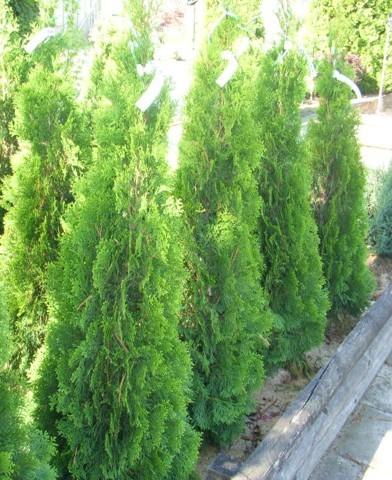 Thuja occidentalis 'Smaragd' - Smaragd tuja (oszlopos)