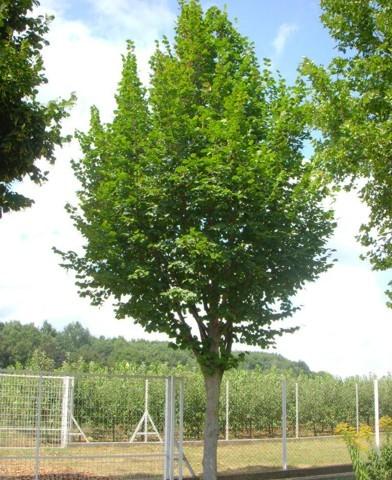 Magnolia grandiflora - Nagyvirágú Örökzöld liliomfa