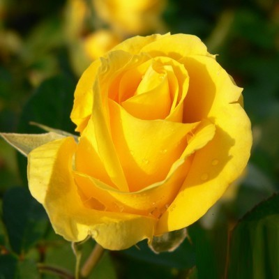 Tourne magastörzsű rózsa