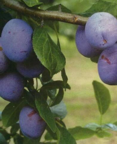 Tuleu gras szilvafa