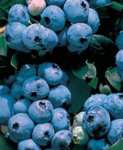 Vaccinium corymbosum 'Blue Ray' - fürtös, kék áfonya bokor