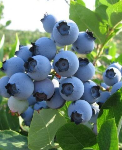 Vaccinium corymbosum 'Denise Blue'- fürtös, kék áfonya bokor