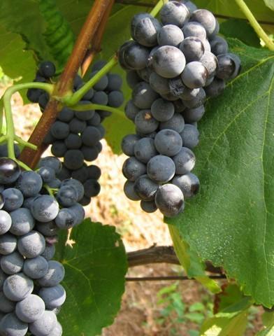 Vénusz magnélküli szőlő oltvány