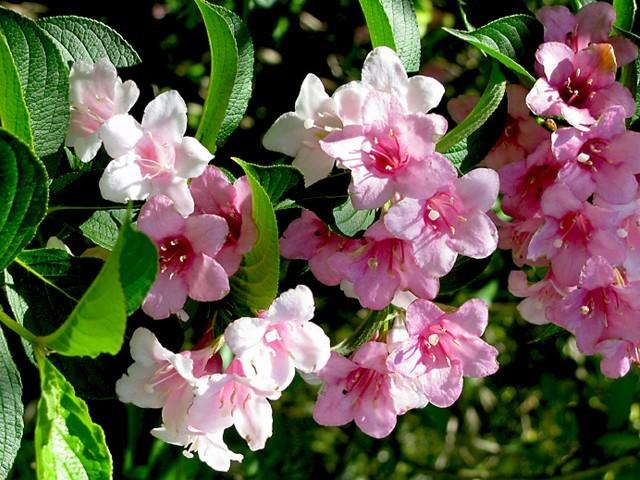 Virágzó cserjék