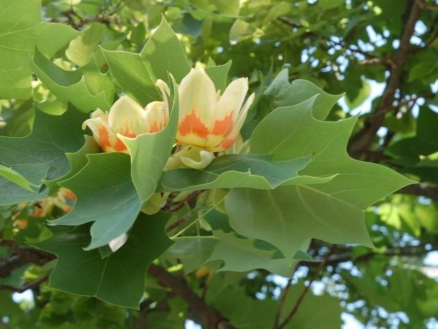 Virágzó díszfák