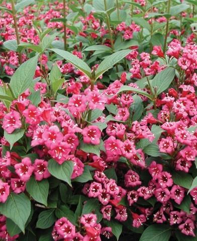 Weigela 'Bristol Ruby' - Rózsalonc