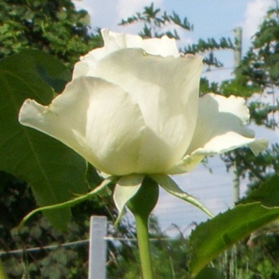 White Simphony magastörzsű rózsa