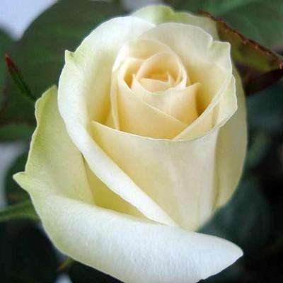 White Weekend magastörzsű rózsa