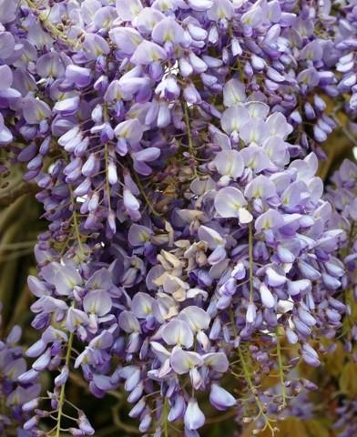 Wisteria sinensis – Kínai lilaakác'