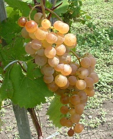 Zala gyöngye rezisztens szőlő oltvány