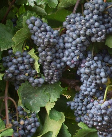 Zweigelt borszőlő oltvány
